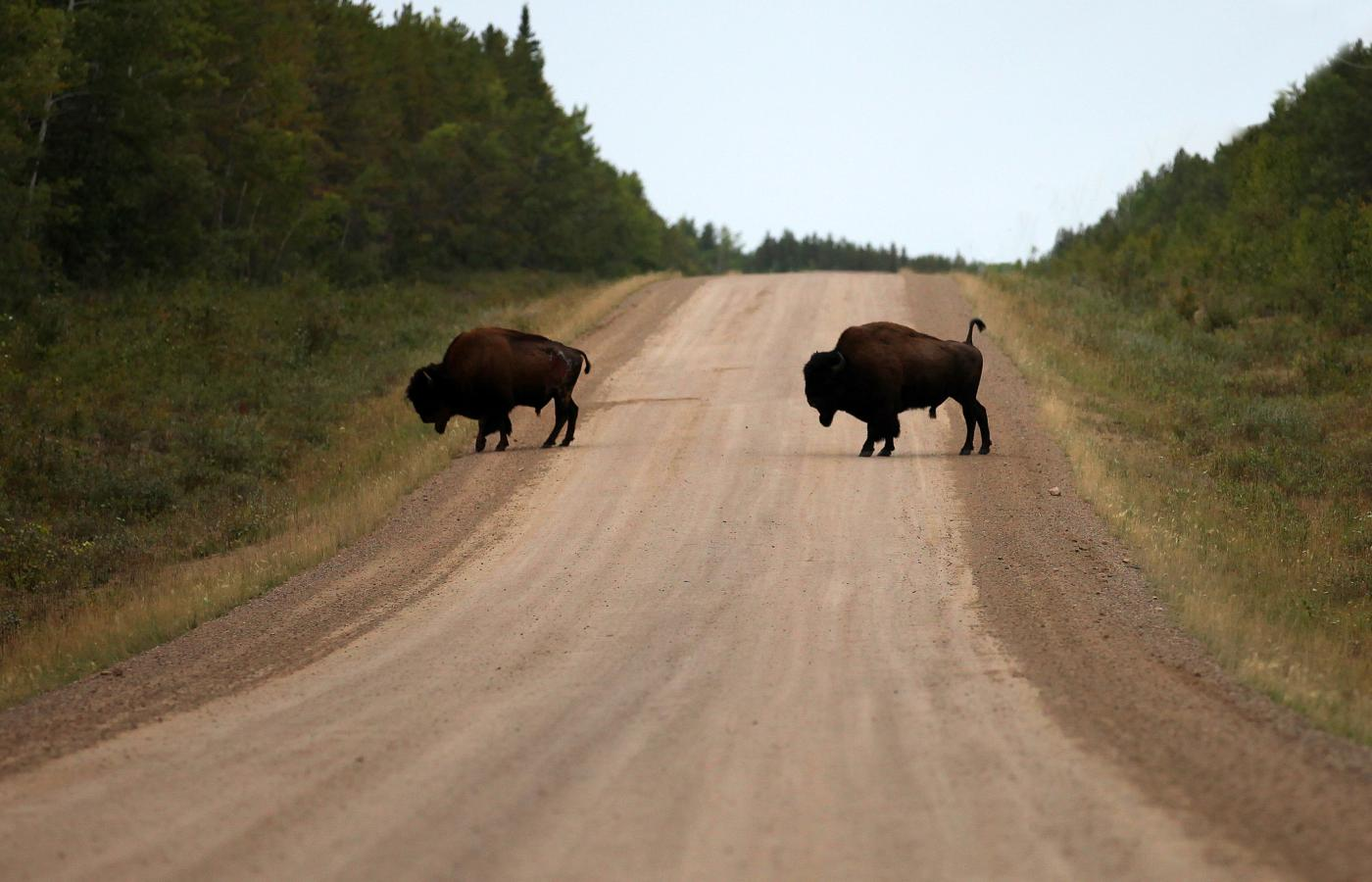 bison crossing the road in fort smith