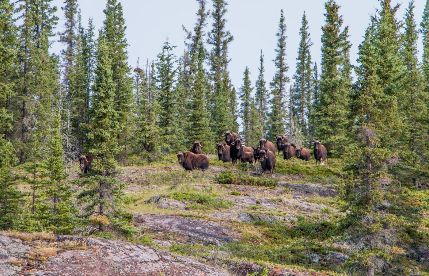 Muskoxen on the shores of the East Arm of Great Slave Lake