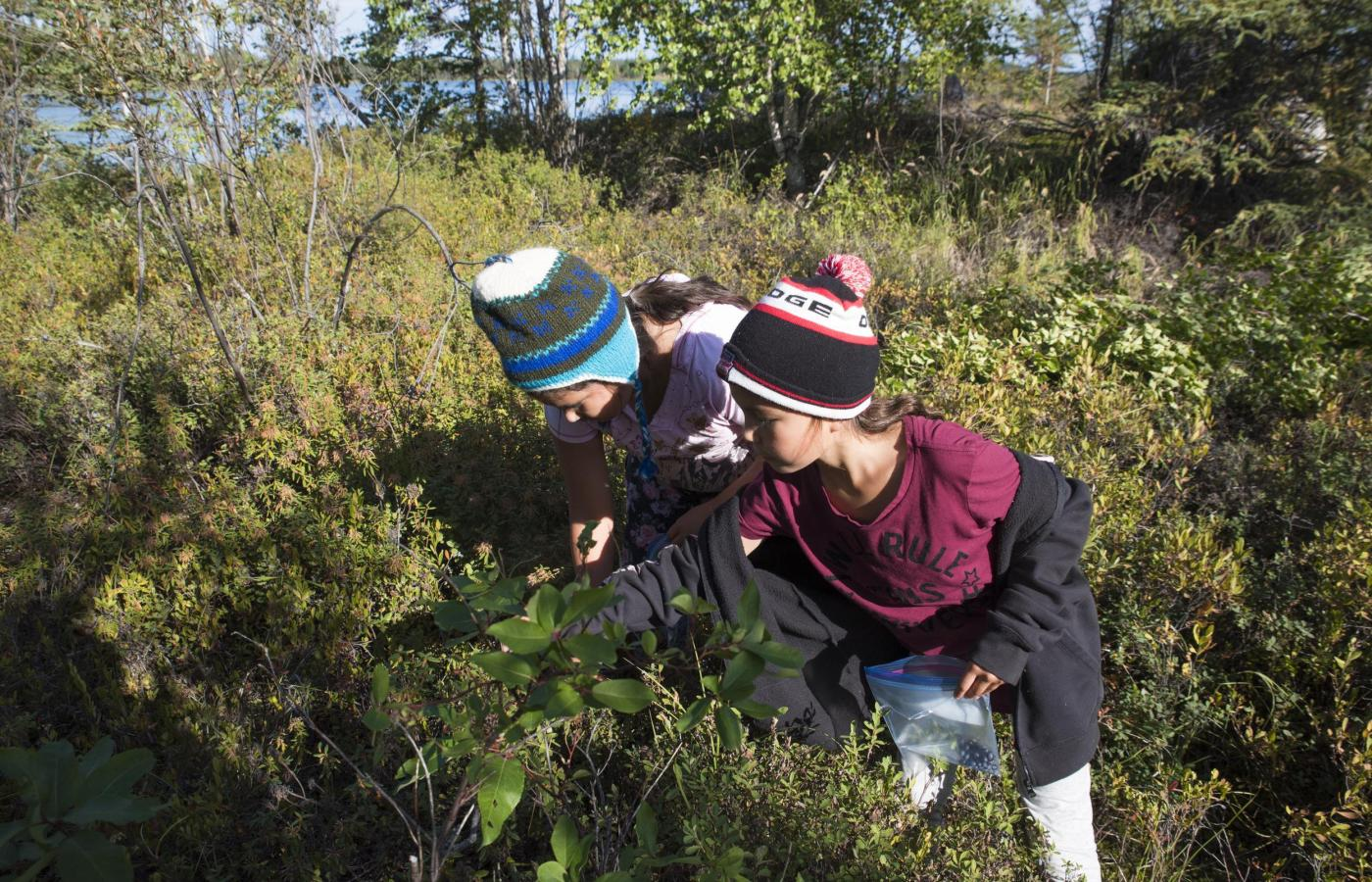 Dene youth picking wild berries