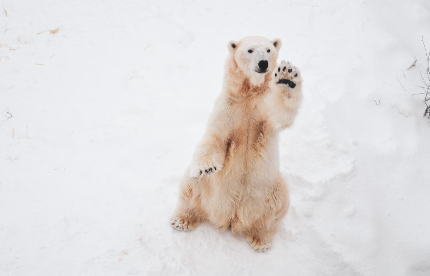 a polar bear sits on the arctic tundra