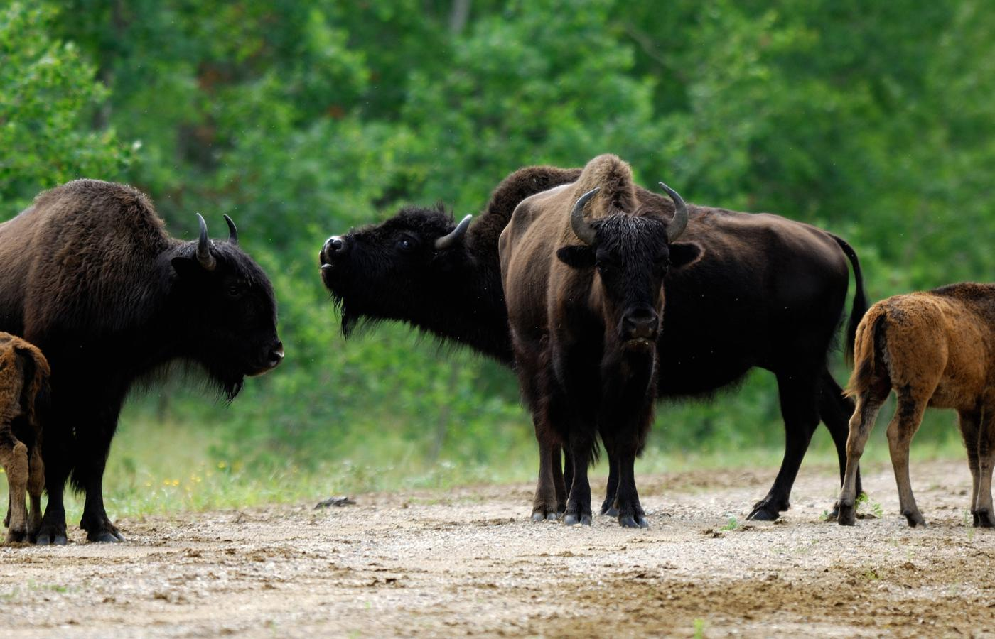 a herd of bison stand on the road with their calves outside wood buffalo national park
