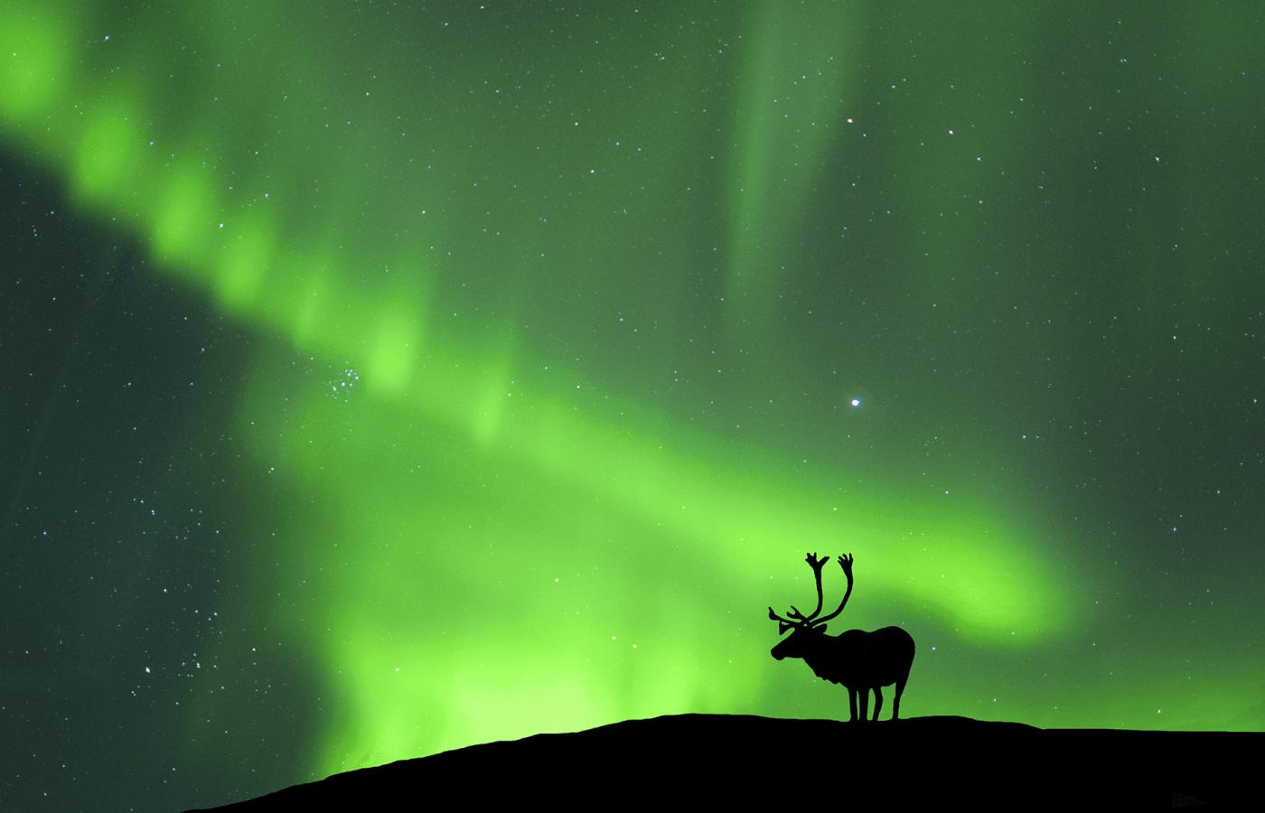 the silhouette of a caribou stands on a mountain top watching the Northern Lights