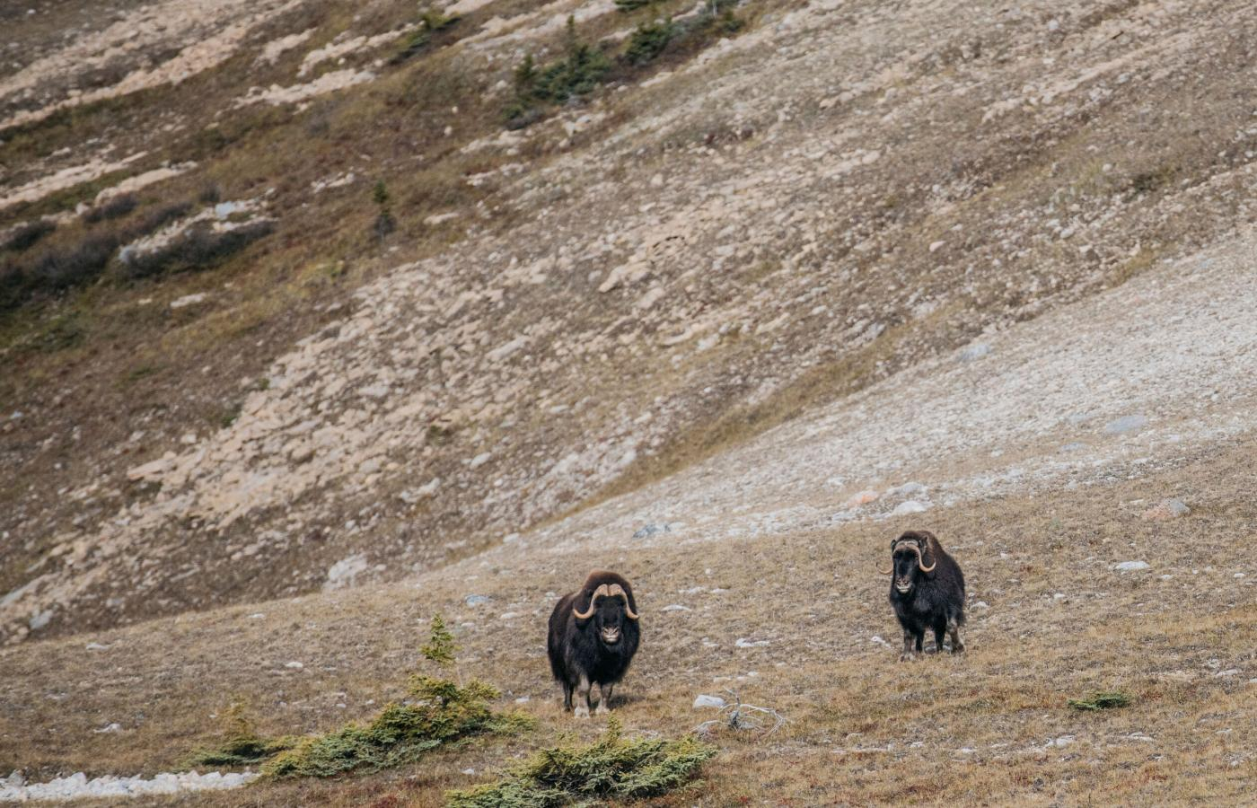A pair of muskox wander in the NWT's sahtu region