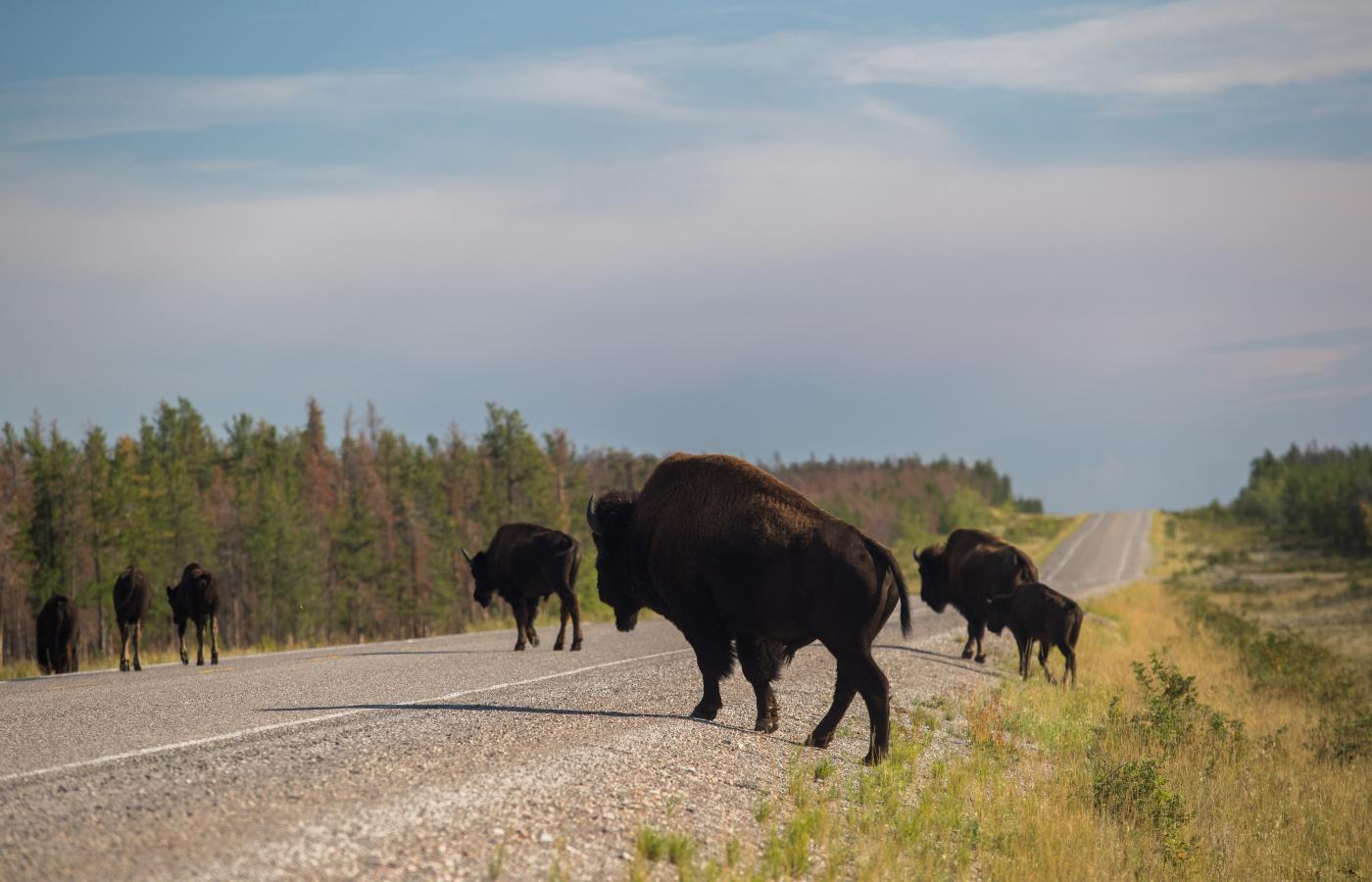 a group of buffalo cross the road in the Northwest Territories