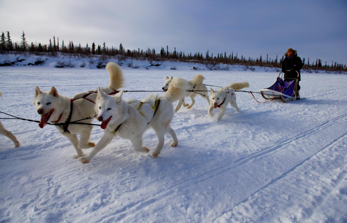 a dog sled team pulls a dogsled in the snow in the Northwest Territories