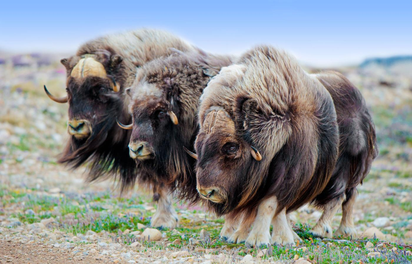 Muskoxen on the tundra in the NWT