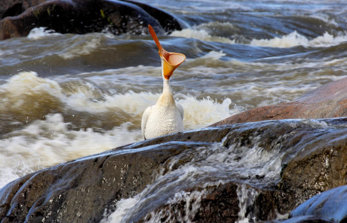 pelican at slave river rapids