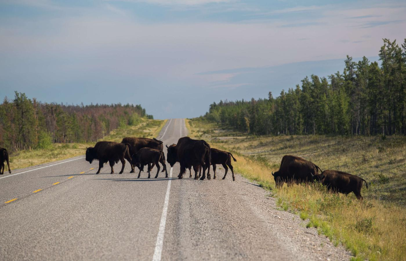 Bison crossing the highway