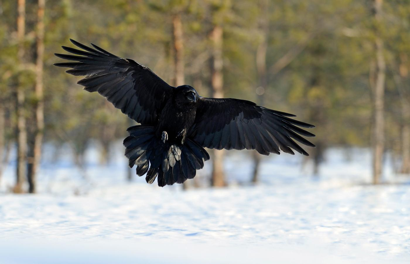 A raven flying about a snowy landscape