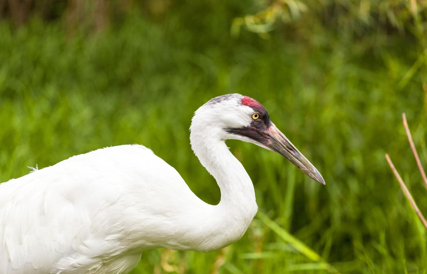 Whooping cranes are making a comeback in Wood Buffalo Park in the NWT.