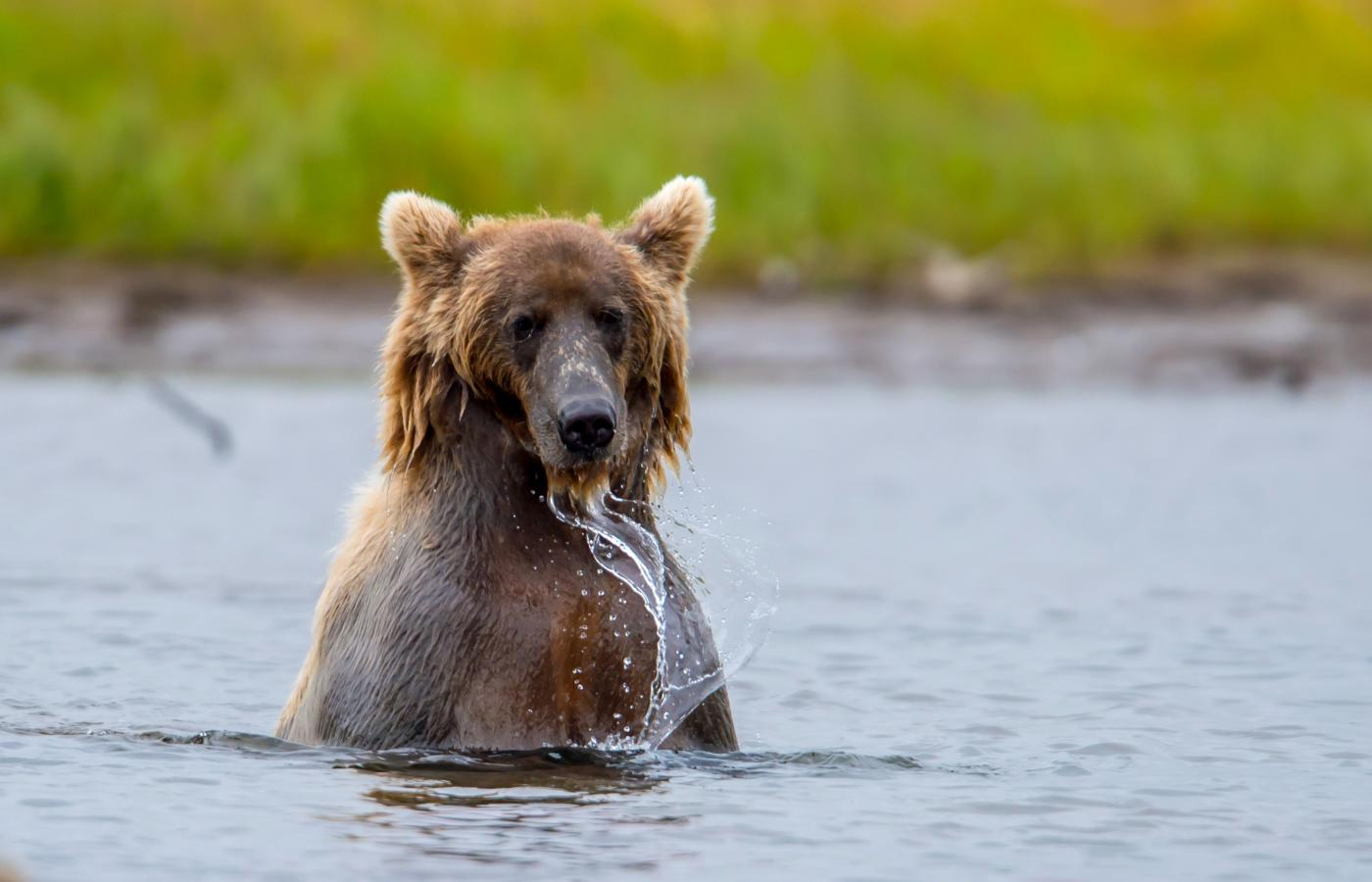 Grizzly bear standing in a pond