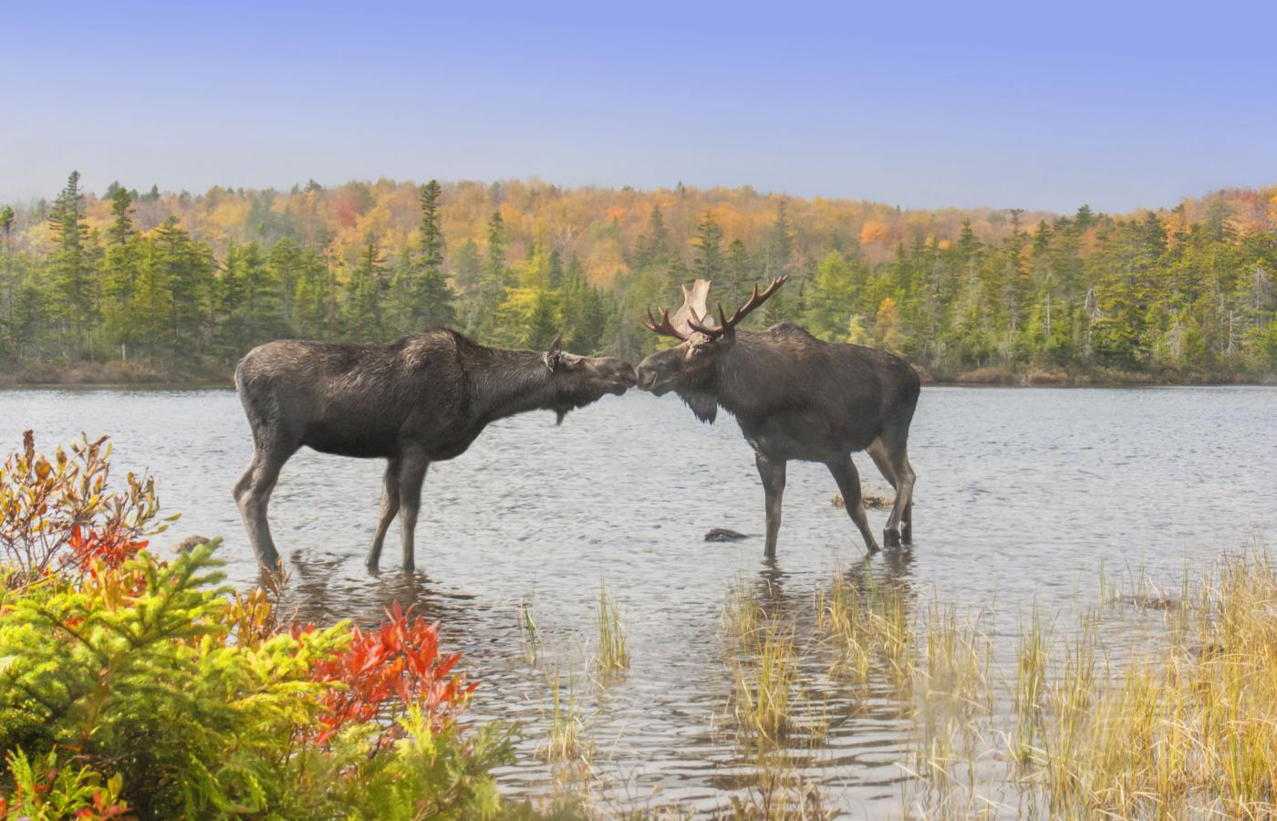Two moose on standing in a pond in the NWT