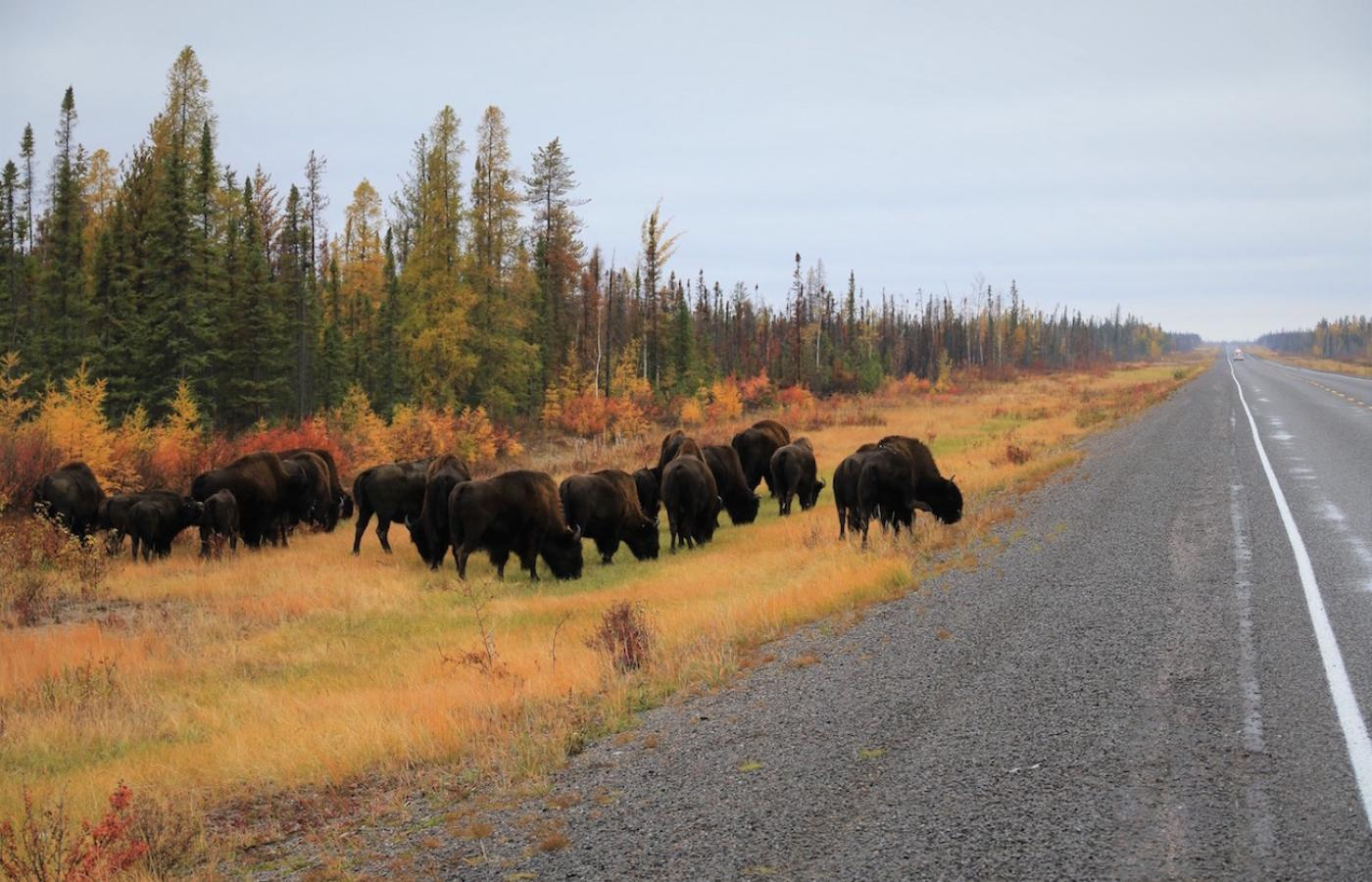 Bison alongside the highway in Canada's Northwest Territories