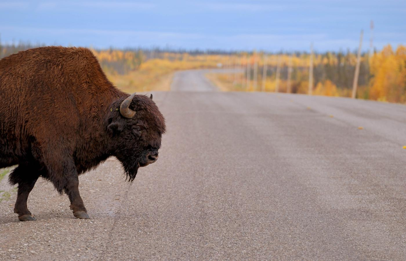 A bison on the road to Yellowknife, Northwest Territories