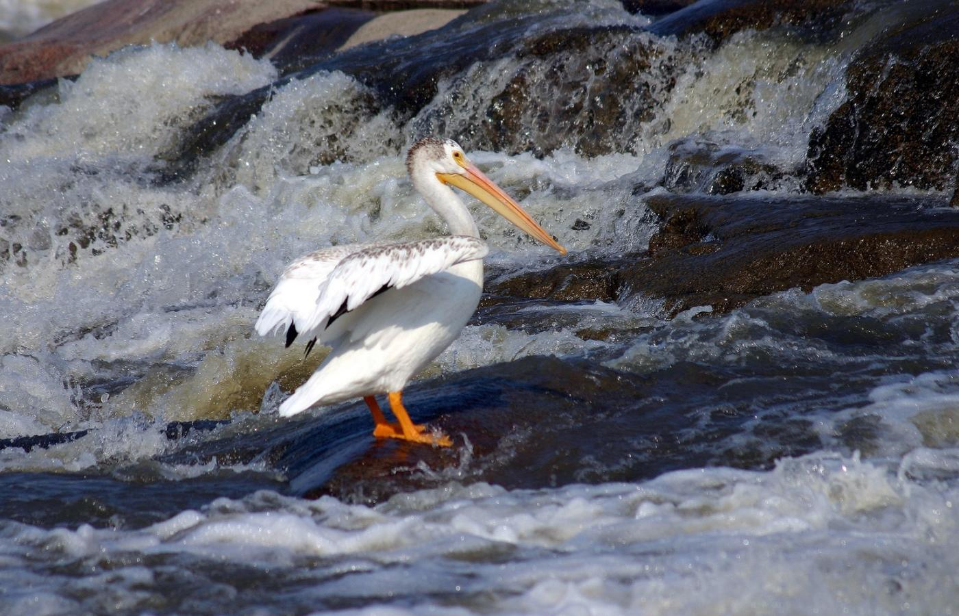 Pelican on rocks in Slave River
