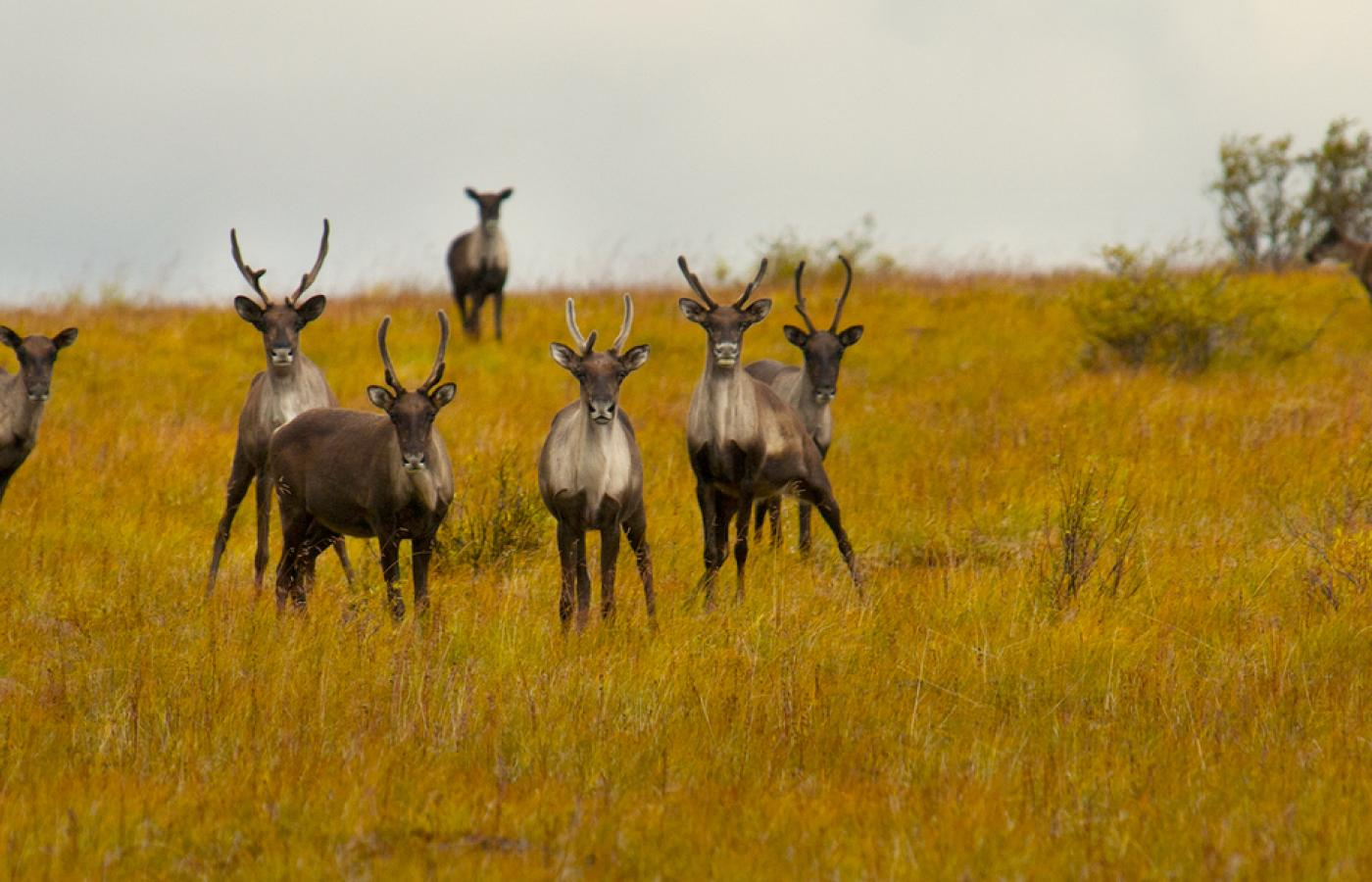 Caribou along the Canol Trail, an epic hike in Canada's Northwest Territories