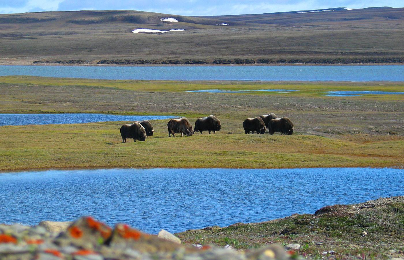 muskoxen on the banks of the thomsen river in aulavik national park