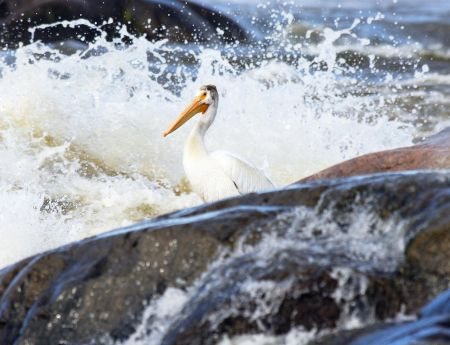 pelican on the slave river rapids