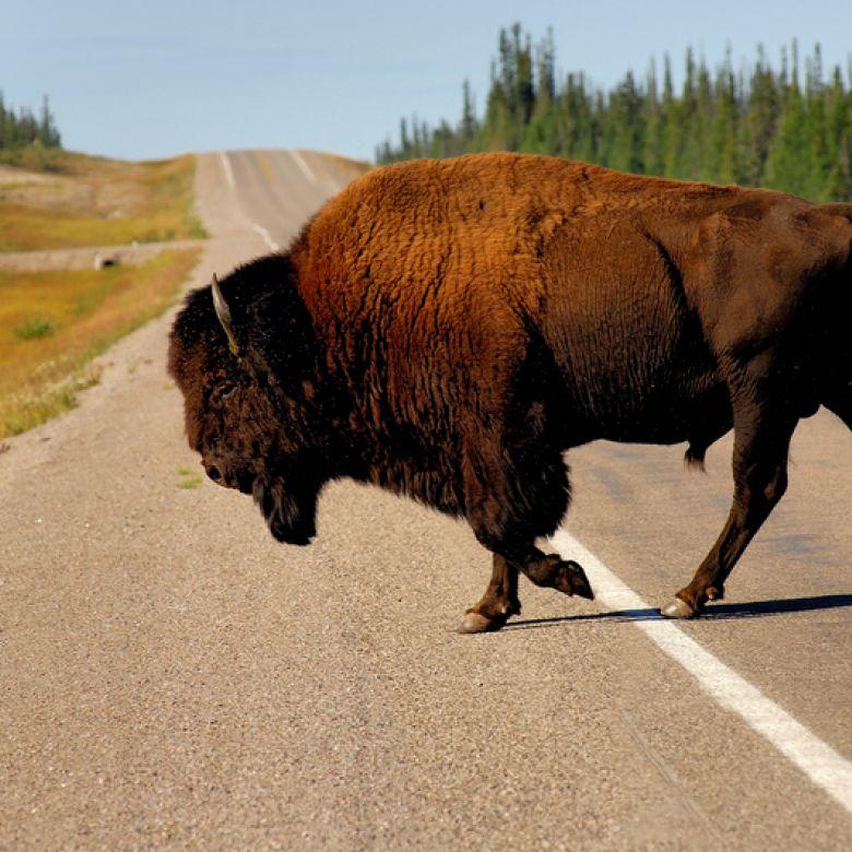 Bison crossing Mackenzie Highway